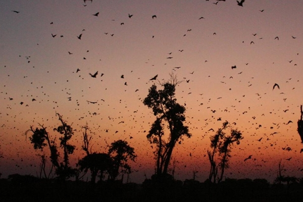 Bats fill the Zambian sky at dusk © Frank Willems