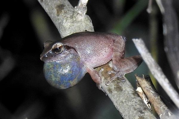 Wayanad Bush Frog
