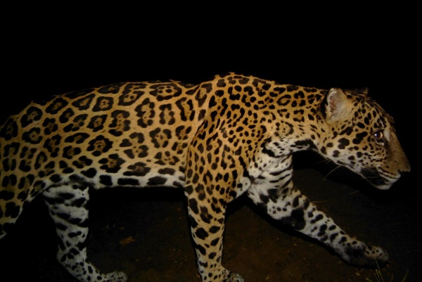 Jaguar photographed by a trail camera in the Jungle for Jaguars corridor. © CSFI