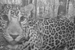 Jaguar photographed by a trail camera in Freshwater Creek Forest Reserve