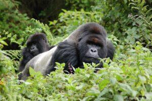 Mountain Gorillas in Rwanda. Image: Joachim Huber