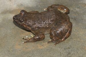 New frog species Limnonectes kiziriani showing different colour morph, individual photographed in Khe Nuoc Trong © Nguyen Quang Truong/ Viet Nature