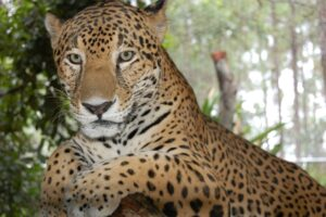 Jaguar in Belize © CSFI