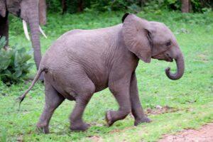 Young African Elephant. Image: Lars Plougmann