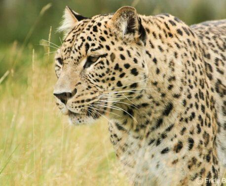 Caucasian Leopard. Image: Frida Bredesen