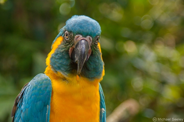 Blue-throated Macaw. Image: Michael Seeley