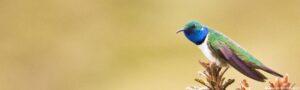 Blue-throated Hillstar banner © Dusan Brinkhuizen