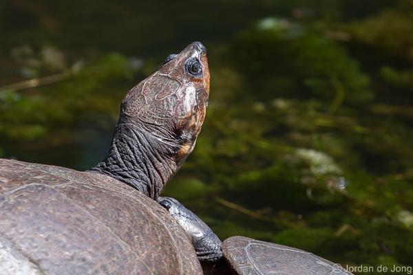 Magdalena River Turtle. Image: Jordan de Jong