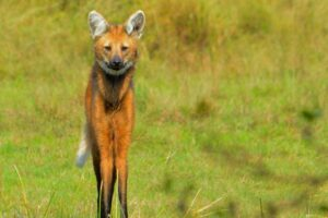 Maned Wolf in Barba Azul Nature Reserve
