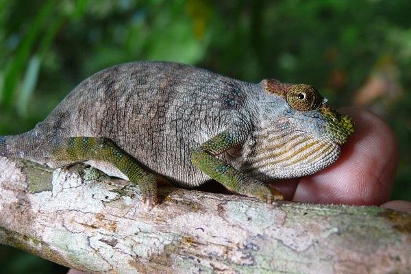 Magombera Chameleon © Andrew Marshall