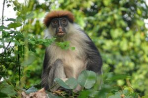 Udzungwa Red Colobus