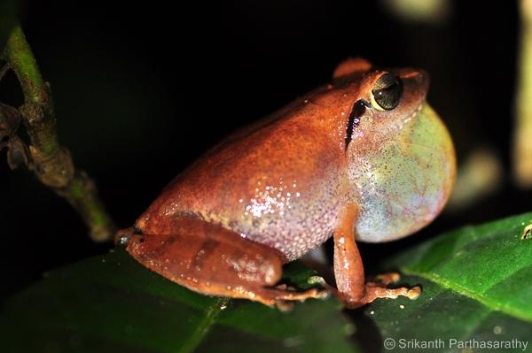 Wayanad Bush Frog. Image: Srikanth Parthasarathy