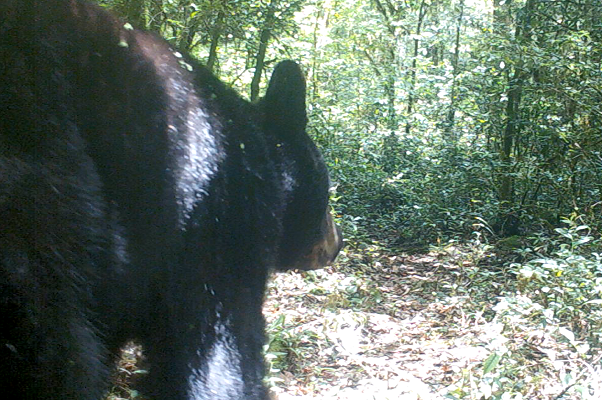 Black Bear, Mexico