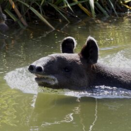 Mountain Tapir. Image: Jean/Flickr