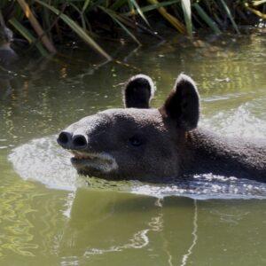 Mountain Tapir. Image: Jean/Flickr