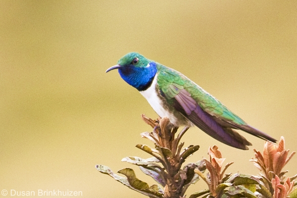 Blue-throated Hillstar. Image: Dusan Brinkhuizen