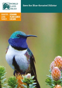 Save the Blue-throated Hillstar
