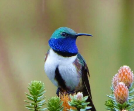 Blue-throated Hillstar. Image: F. Sornoza