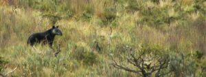 Mountain Tapir. Image: Naturaleza y Cultura Peru