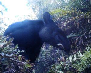 Mountain Tapir. Image: Fundación Jocotoco