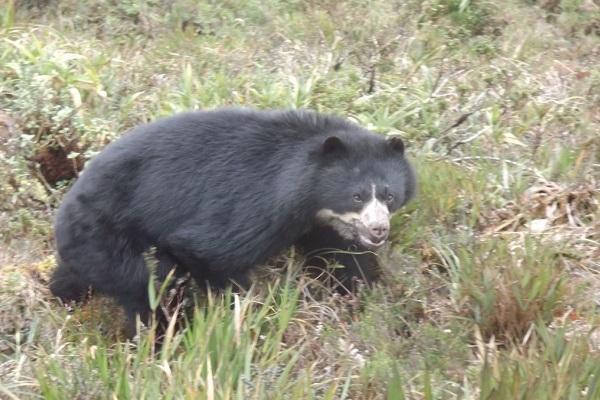 Spectacled Bear. Image: Pedro Álvarez