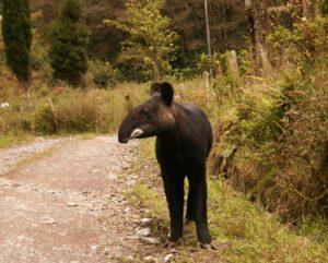 Mountain Tapir. Image: Juan Pablo Reyes/EcoMinga