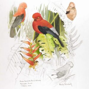 Cock of the rock sketches by Martin Woodcock