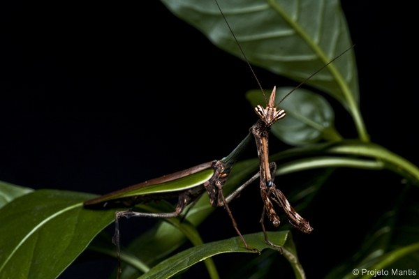 Unicorn Mantis. Image: Projeto Mantis