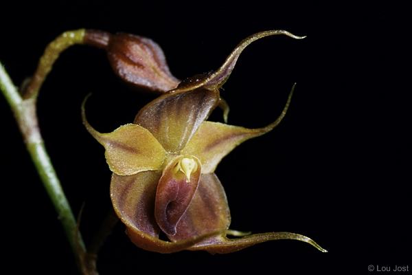 Teagueia puroana. Image: Lou Jost