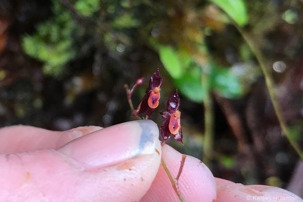 Teagueia orchid. Image: Kelsey Huisman