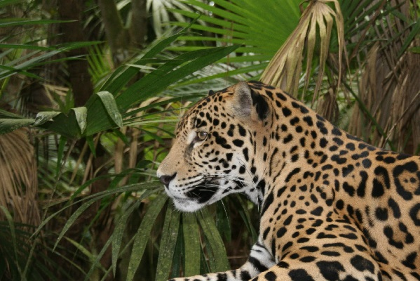 Jaguar in Belize. Image: CSFI