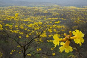 ecuador_guyacan_trees_bloom