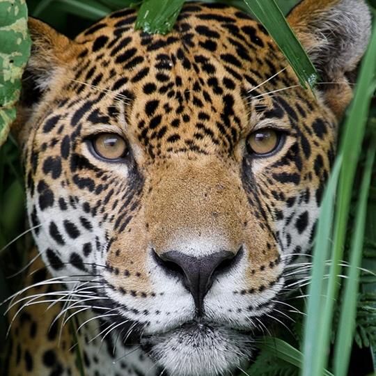 Jaguar, WLT News Autumn 2018 cover. Image: Adalbert Dragon/Shutterstock