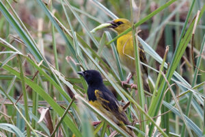 Male & female Clarke's Weaver carrying food,