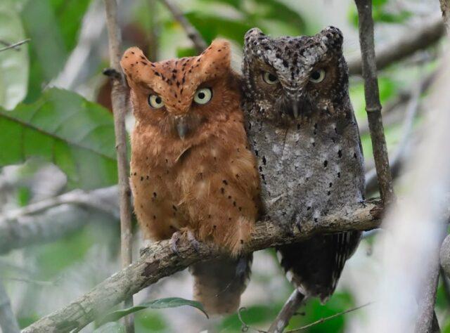 Sokoke Scops Owl. Image: Per Holmen