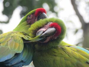 Release Great Green Macaws Fundacion Jocotoco © Michael Moens (164) (1)