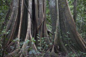 Rainforest tree, Kinabatangan floodplain, Malaysian Borneo. © Astrid Munoz