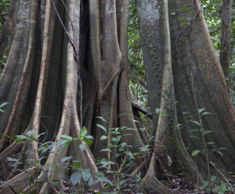 Rainforest tree, Kinabatangan floodplain, Malaysian Borneo. © Astrid Munoz