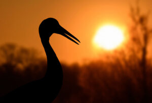 Sarus Crane at sunset. Andrew Cleave/Nature Photographers Ltd