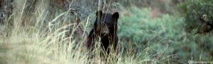 American Black Bear © Roberto Pedraz Ruiz