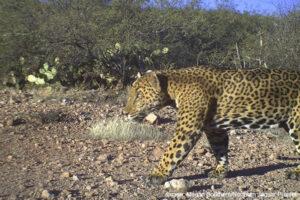 Jaguar in Reserva Jaguar del Norte