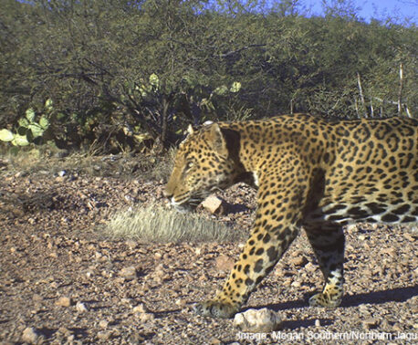 Jaguar in Reserva Jaguar del Norte