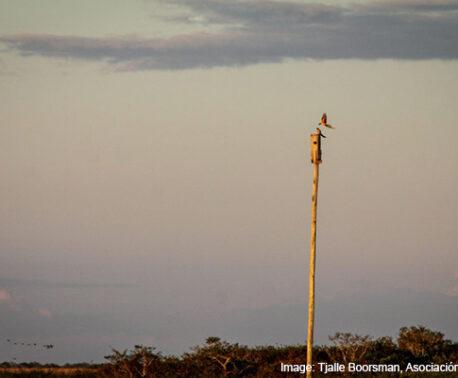 Blue-Throated Macaws © Tjalle Boorsman, Asociación Armonía