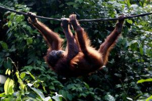 orangutandavidbebber