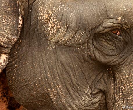 Working elephant, © David Bebber