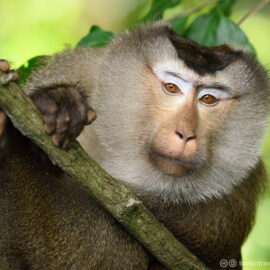 Northern Pig-tailed Macaque - tontantravel / Flickr