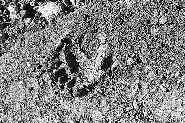 The foot print of a bear believed to be about two years old found when John was in the khrosov wildlife refuge. The reserve was originally funded by WLT and IUCN Netherlands.