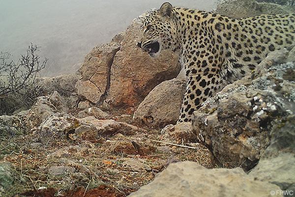 Caucasian Leopard