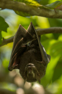 Fruit-eating bat photographed in Sierra Gorda woodland Image: Roberto Pedraza Ruiz