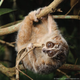 Pygmy Slow Loris feeding on a giant stick insect
